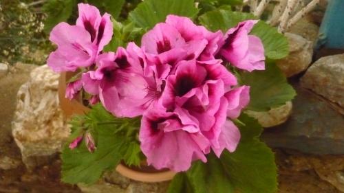 geranien.jpg