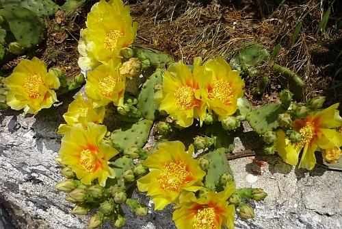 kaktusblute1.jpg
