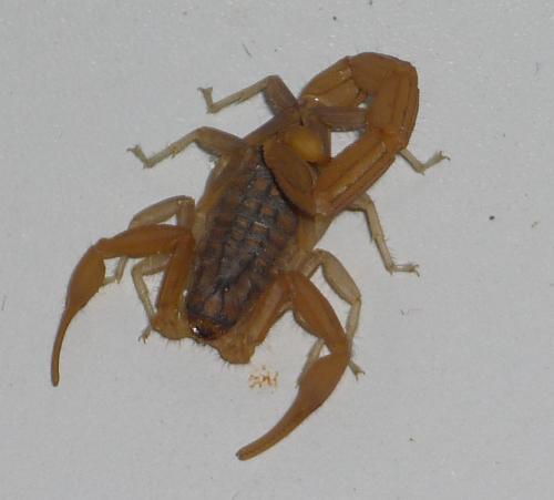 Skorpion1